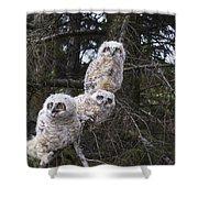 Three Great Horned Owl Bubo Virginianus Shower Curtain