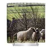 Three Sheep In A Field With Stone Shower Curtain