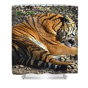 Tiger Behavior Shower Curtain