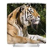 Tiger Observations Shower Curtain