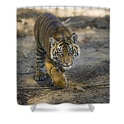 Tiger Panthera Tigris Cub, Native Shower Curtain
