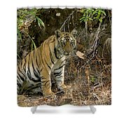 Tiger Panthera Tigris Six Month Old Shower Curtain