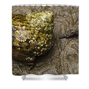 Top Shell Clanculus Sp Shower Curtain
