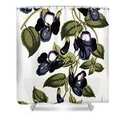 Torenia Asiatica Pulcherrima Shower Curtain