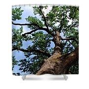 Towering Oak In Summer Shower Curtain