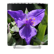 Tradescantia Named Andersonia Mauve Shower Curtain