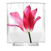 Translucent Pink Tulip Flower  Shower Curtain