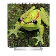 Tree Frog Hyla Rubracyla, Colombia Shower Curtain