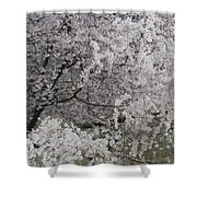 Trees Heavy With Cherry Blossoms Shower Curtain