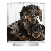 Tricolor Dachshund Puppies Shower Curtain