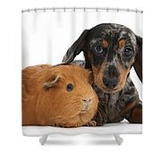 Tricolor Merle Dachshund Pup And Red Shower Curtain