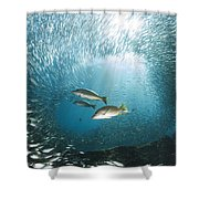 Trio Of Snappers Hunting For Bait Fish Shower Curtain
