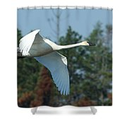 Trumpeter Swan In Flight Shower Curtain