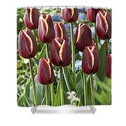 Tulip Tulipa Sp Key West Variety Flowers Shower Curtain