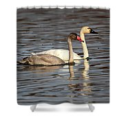Tundra Swan And Cygnet Shower Curtain