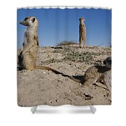 Two Adult Meerkats Suricata Suricatta Shower Curtain