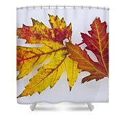 Two Autumn Maple Leaves  Shower Curtain