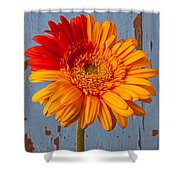 Two Color Gerbera Daisy Shower Curtain