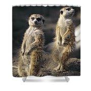 Two Meerkats, Suricata Suricatta, Stand Shower Curtain