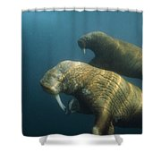 Two Pacific Walruses Swim Together Shower Curtain