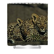 Two Sleepy Four-month-old Leopard Cubs Shower Curtain