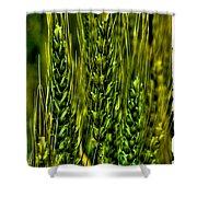 Unripened Wheat Shower Curtain