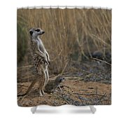 Using Its Tail, An Adult Meerkat Shower Curtain