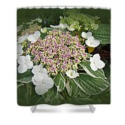 Variegated Lace Cap Hydrangea - Pink And White Shower Curtain