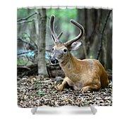 Velvet Buck At Rest  Shower Curtain