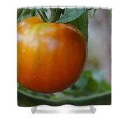 Vine Ripe Tomato Shower Curtain