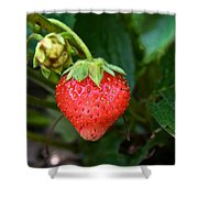 Vine Ripened Strawberry Shower Curtain