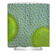 Volvox Globator Surface View Of Colony Shower Curtain