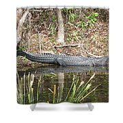 Wakulla Springs Alligator Shower Curtain