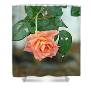 Water Dripping From A Peach Rose After Rain Shower Curtain