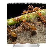 Weaver Ant Oecophylla Longinoda Group Shower Curtain