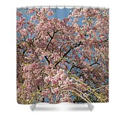 Weeping Cherry Tree In Bloom Shower Curtain