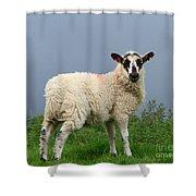Wensleydale Lamb Shower Curtain