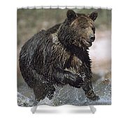 Wet Grizzly Bear Running In Stream Shower Curtain