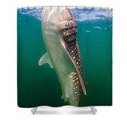 Whale Shark, La Paz, Mexico Shower Curtain