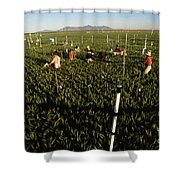 Wheat And Elevated Carbon Dioxide Shower Curtain by Science Source