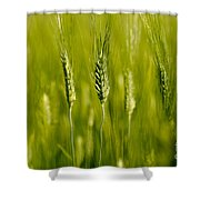 Wheat On The Field Shower Curtain