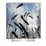 Wheat With Blue Sky Shower Curtain