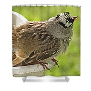 White Crowned Sparrow Sends A Warning Shower Curtain