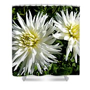 White Dahlias In Autumn  Shower Curtain