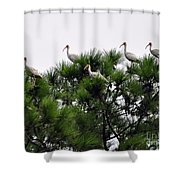 White Ibises Roosting Shower Curtain