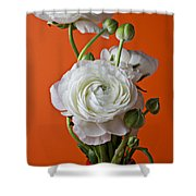 White Ranunculus Close Up In Red Vase Shower Curtain