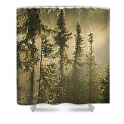 White Spruce In Mist At Sunrise Shower Curtain