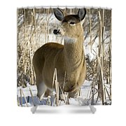 White-tailed Deer In A Snow-covered Shower Curtain