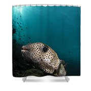 Wide-angle Image Of Pufferfish, Raja Shower Curtain