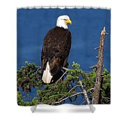 Wild Bald Eagle On Fir Tree Shower Curtain
